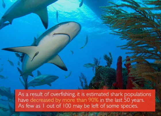 As a result of overfishing, it is estimated shark populations have decreased by more than 90% in the last 50 years. As few as 1 out of 100 may be left of some species.